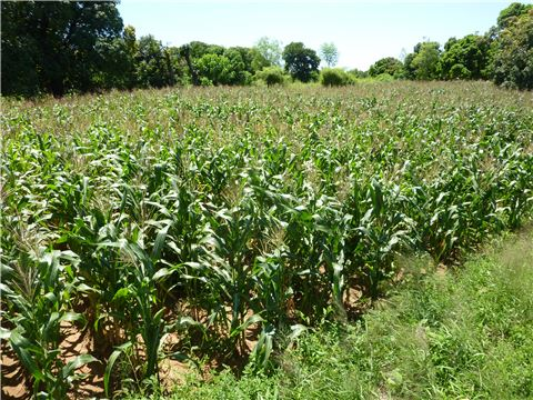 good-agricultural-practices-for-better-maize-leaflet